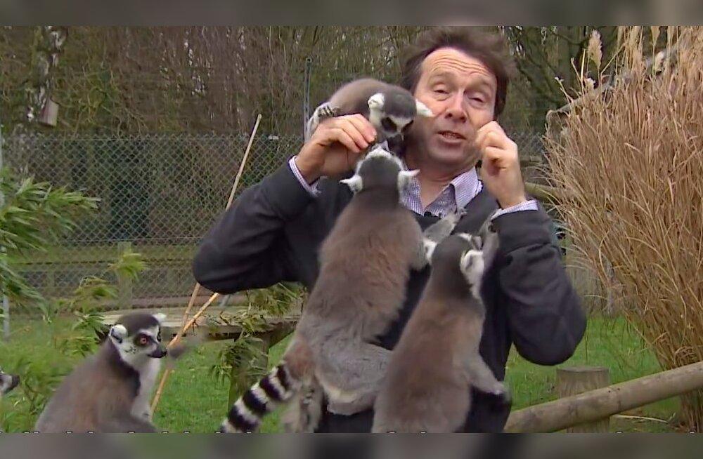 LUSTAKAS VIDEO | Kari teravate hammastega leemureid ründavad loomaaias ootamatult BBC reporterit