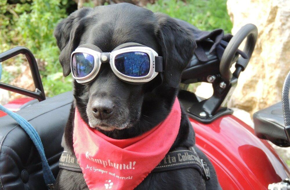 """Põhjalik koerakeele leksikon: kuidas öelda """"auh"""" erinevates maailma keeltes"""