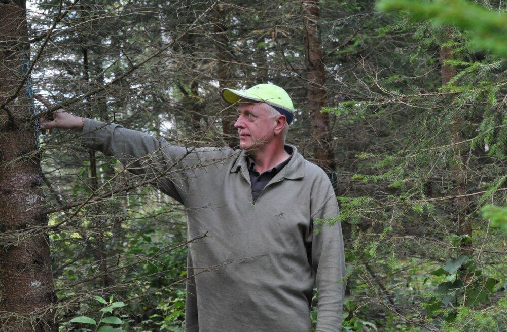 Raivo Karpender näitab oma metsas uluki-kahjustusi. Põtrade näritud puid ei pea pikalt otsima, neid jagub.