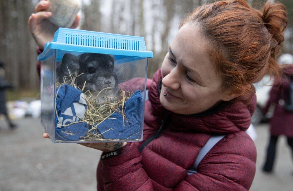 Karusloomafarmist päästetud tšinšiljad antakse üle uutele omanikele