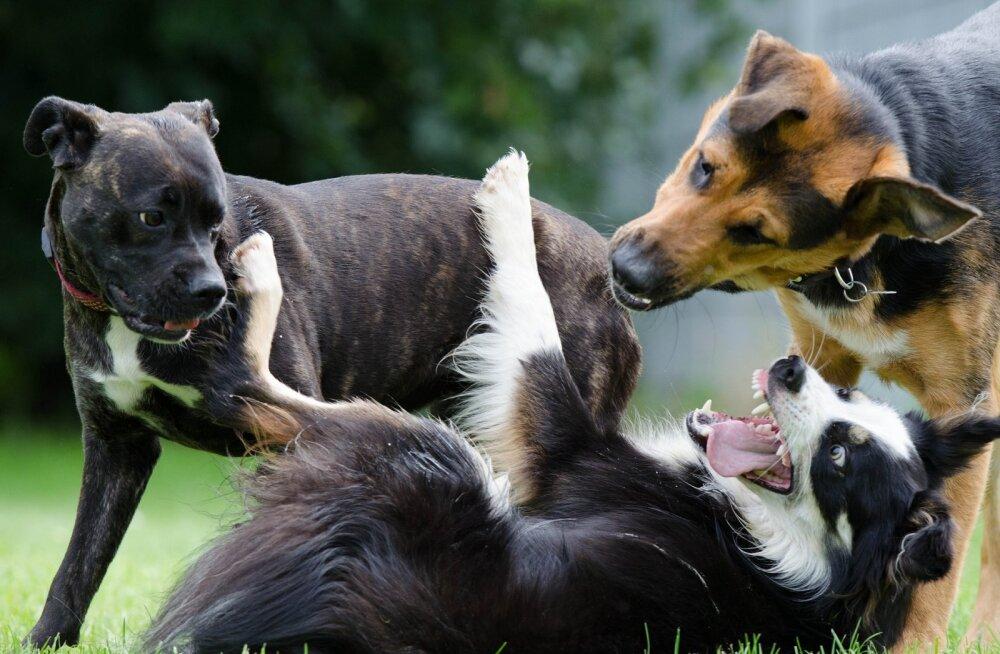 Põnev: kas minu koer tunneb sama tõu esindaja teiste seast ära?