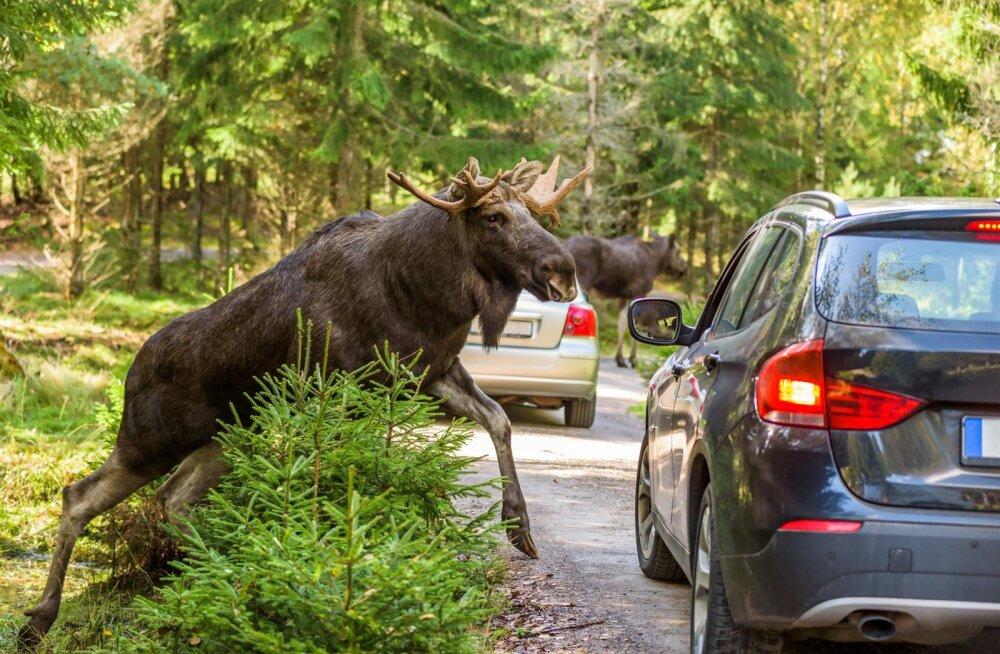 Loomad tekitavad segadust teedel ja linnas: millal tasub autoroolis eriti ettevaatlik olla?