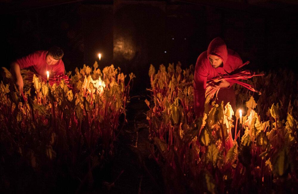 ФОТО: Почему в Англии ревень собирают при свечах