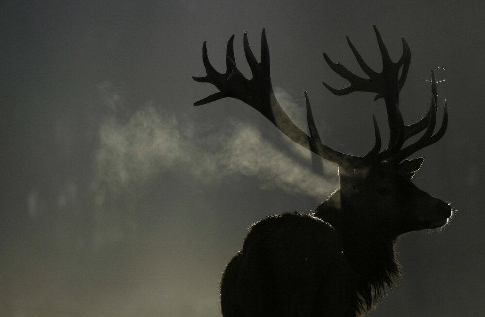 Уникальное видео: поединок между благородными оленями в литовских лесах