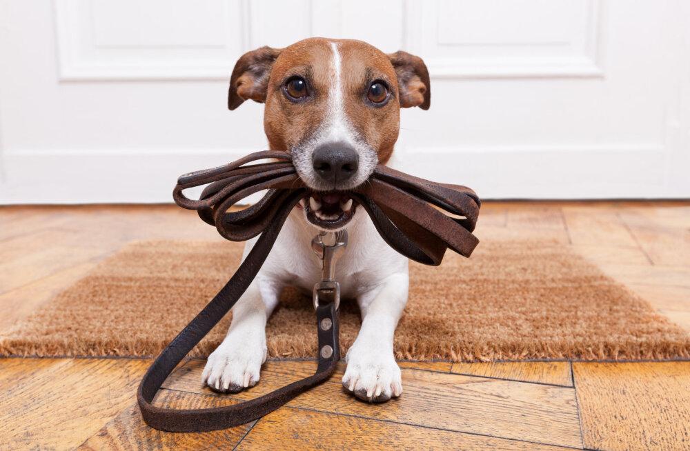 SOOVITUSED | 10 sammu, kuidas leida oma koerale perfektne jalutusrihm