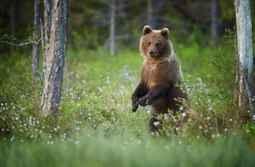 7 SOOVITUST | Mida teha, kui kohtud metsas hundi või karuga?