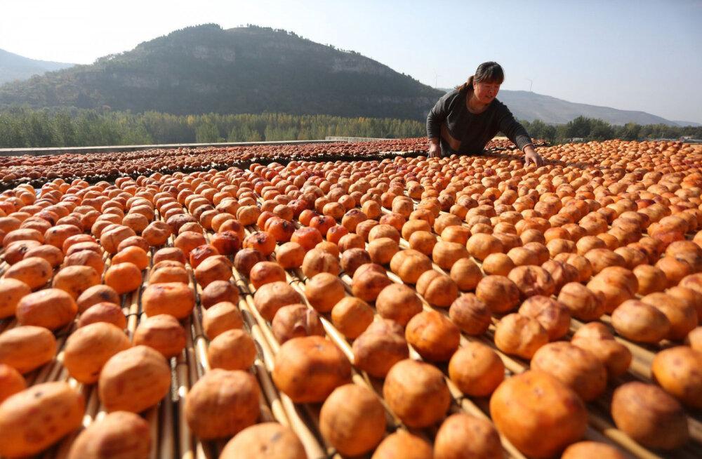 ФОТО: Как в Китае собирают хурму — фрукт, который может навредить человеку