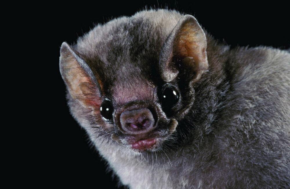 Õudsed ööloomad: Brasiilia vampiirnahkhiirele hakkas ootamatult inimveri mekkima