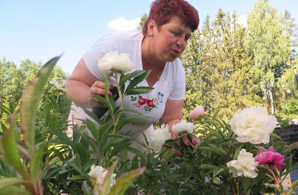 Anu Nurmsalul kasvab aias üle 60 pojengisordi.