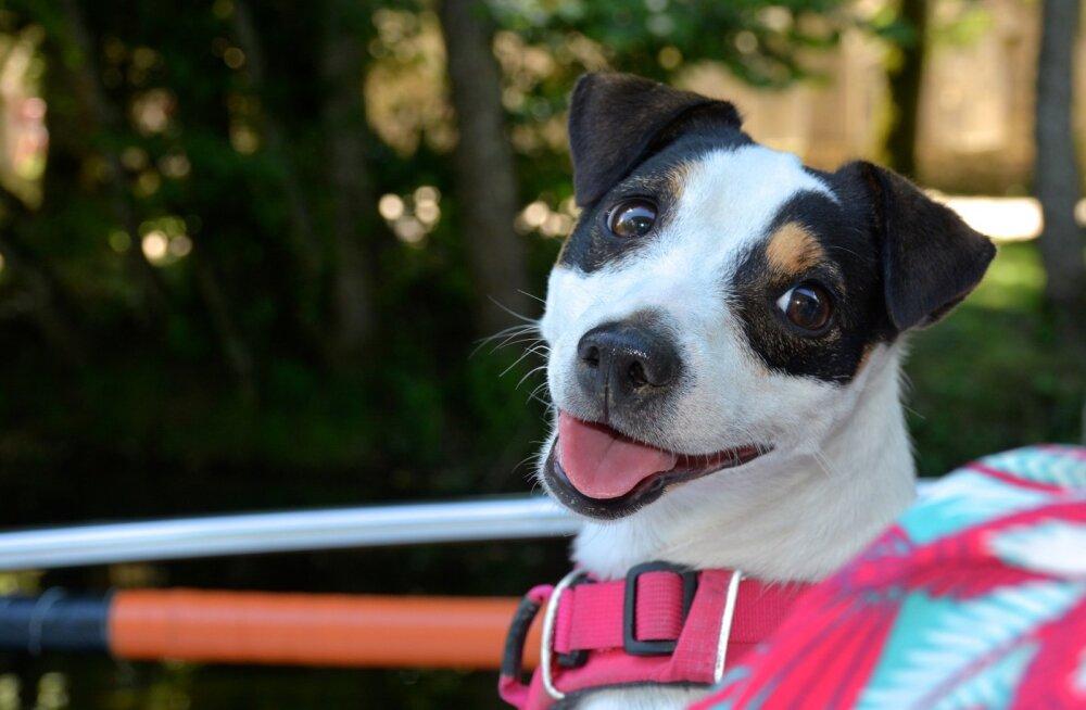 Traksid ja nende ohud: kas ja kuidas valida koerale õiged traksid?