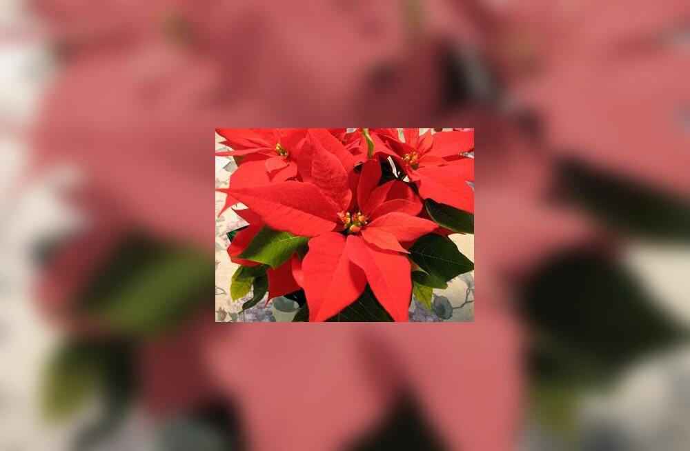 Jõulutäht