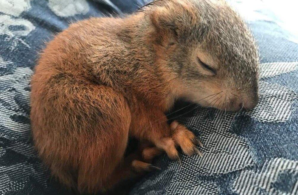 Metsloomaühingu vabatahtlik Kadi: Need väikesed rüblikud on igatahes väärt nendega nähtavat vaeva