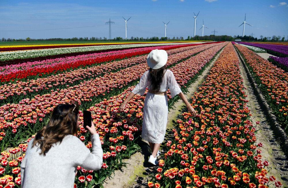 """""""Лучше наслаждайтесь цветами"""": ради красивой фотографии туристы вытаптывают знаменитые поля тюльпанов в Голландии"""
