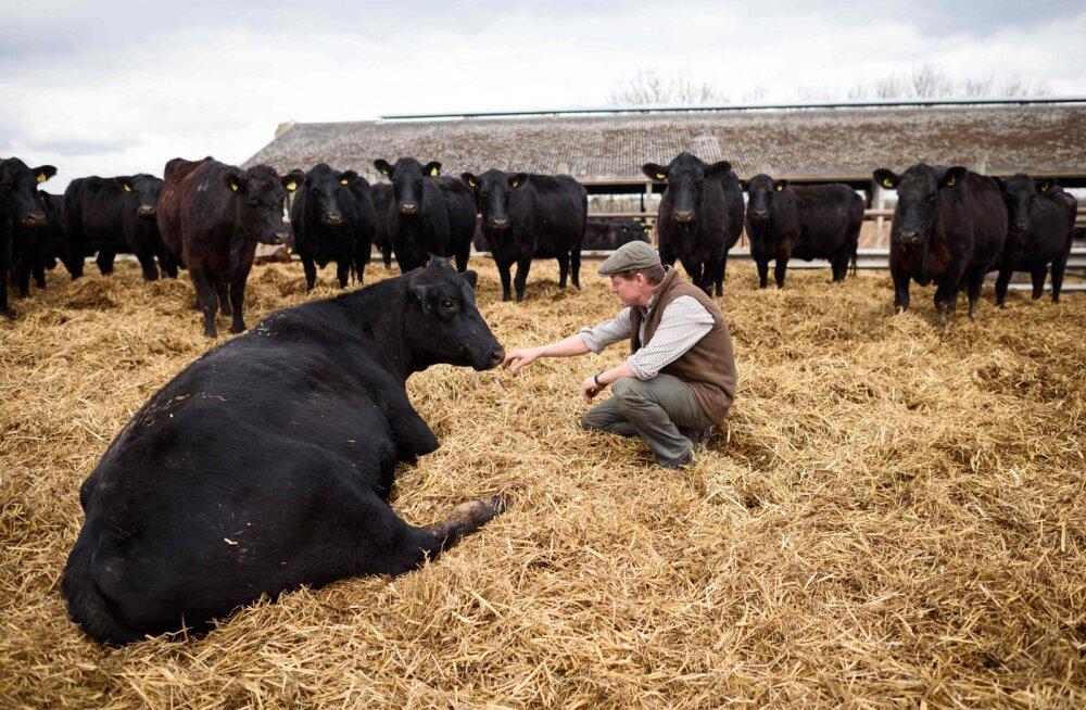 Saksa piimakarjapidajad võitlevad ellujäämise eest