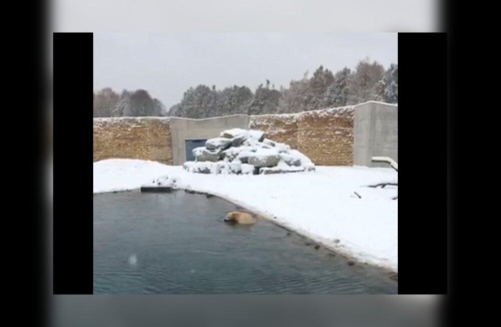 VIDEO | Jälgi mängu! Mida teevad selle lumega loomaaias uude koju kolinud jääkarud?
