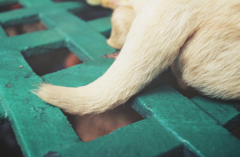 Tüüpiline haigus suvel | Kas minu koeral on vesisaba? Kuidas seda ära tunda ja ravida?