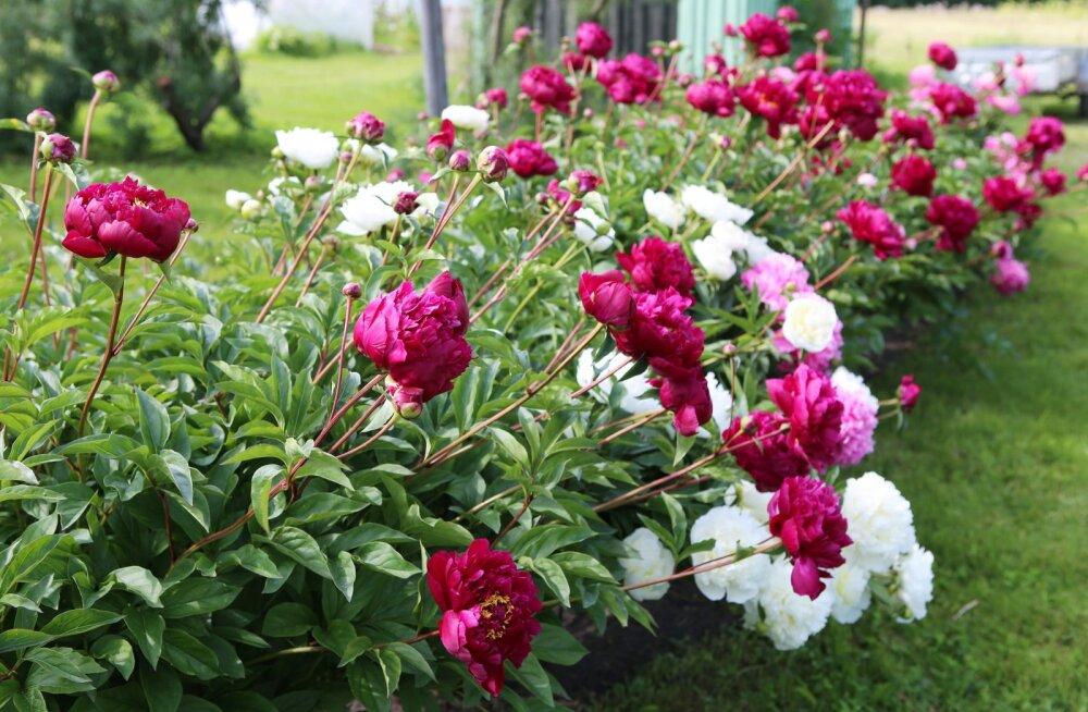 ФОТО   Где в Эстонии полюбоваться цветущими пионами