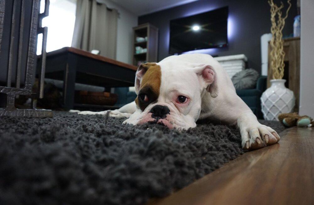 Vihavaen loomaomanikest üürnike vastu: miks ei saa koos lemmikuga elamispinda üürida?