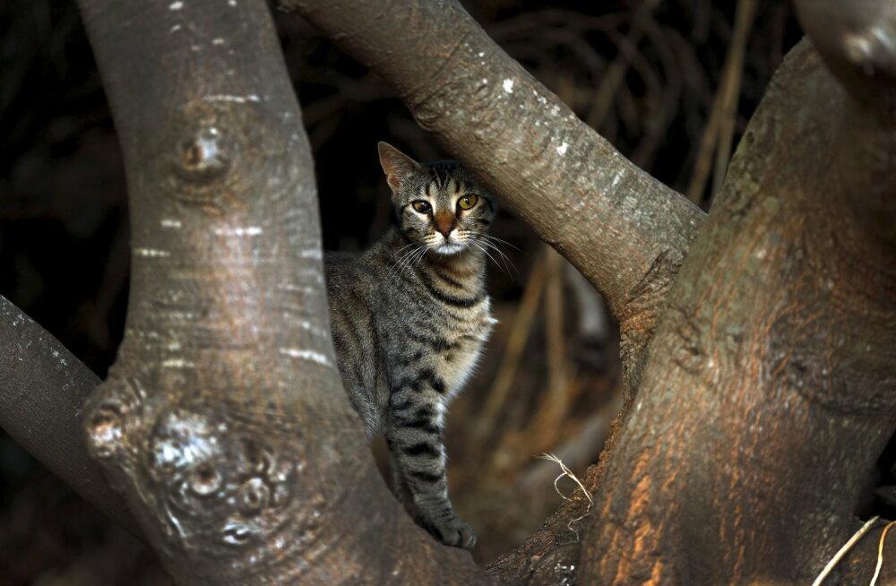 Tõeline hävitustöö: kassid murravad Austraalias iga päev üle miljoni linnu