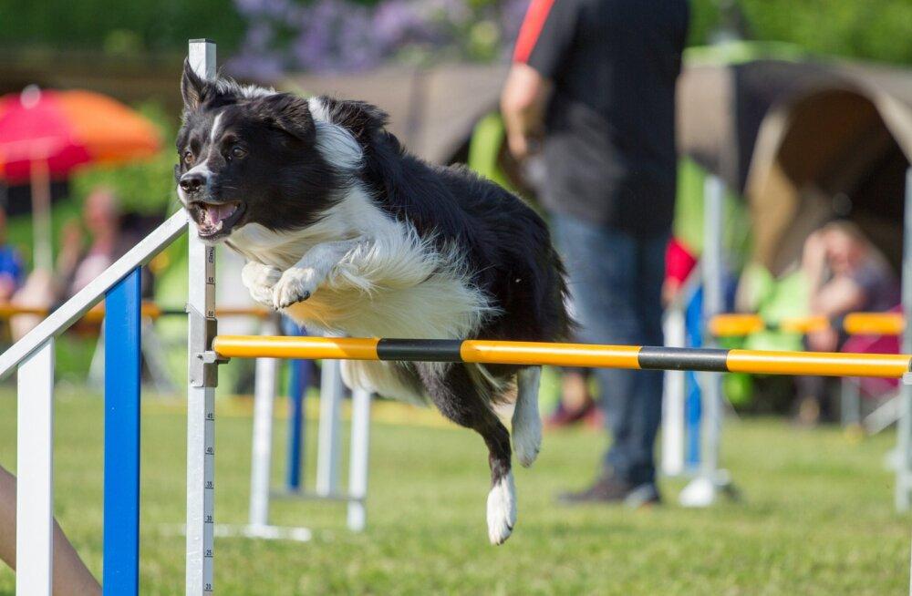 Nädalalõpul toimuvad Soomes <em>agility</em> maailmameistrivõistlused: esindatud on ka Eesti tiim
