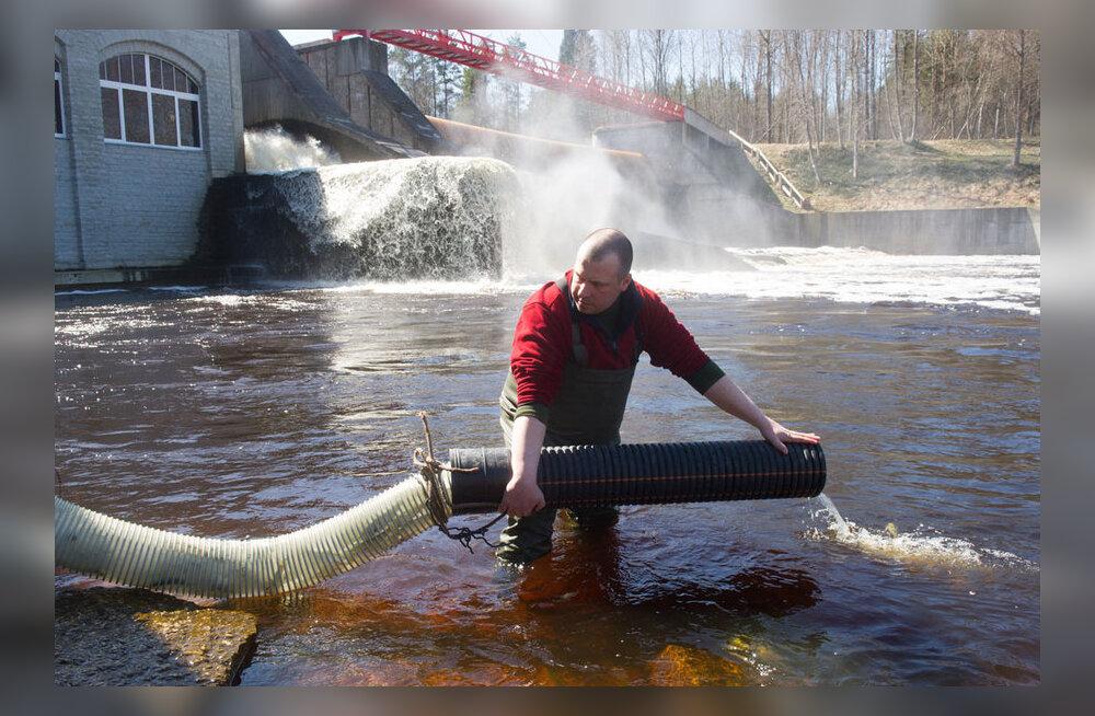 Pärnu jõe lõherikkus taastatakse kümnete tuhandete maimudega
