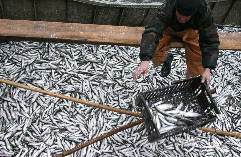 Herring fishing in Gulf of Kaliningrad