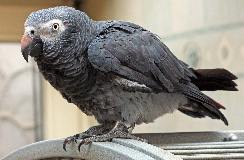 Kurioosum: papagoi vahistati 85-aastase vanaproua sõimamise eest