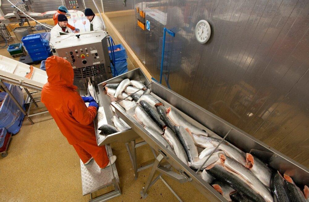 Lõhe puhastamine M.V.Wool kalatööstuses Harkus.