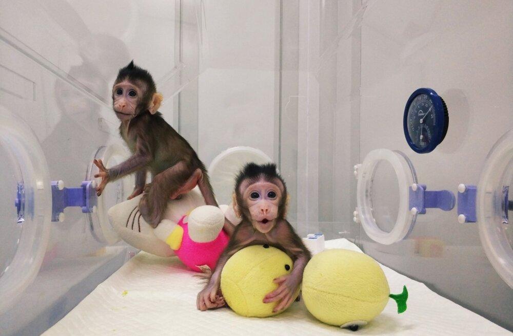 Kas peagi on järg inimeste käes? Hiina teadlastel õnnestus kloonida kaks makaaki