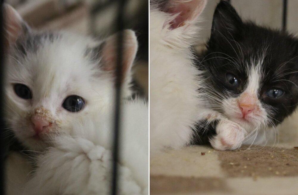 Aita, kui saad: emata jäänud kassipojad võitlesid end haigusest vabaks hiiglasliku kliinikuarve hinnaga