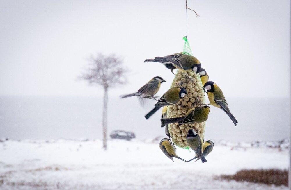 Lindude toitmisega võiks algust teha juba sügisel, nii on neil talvel tee teada ja linnud ei pea toiduotsingutele energiat kulutama.