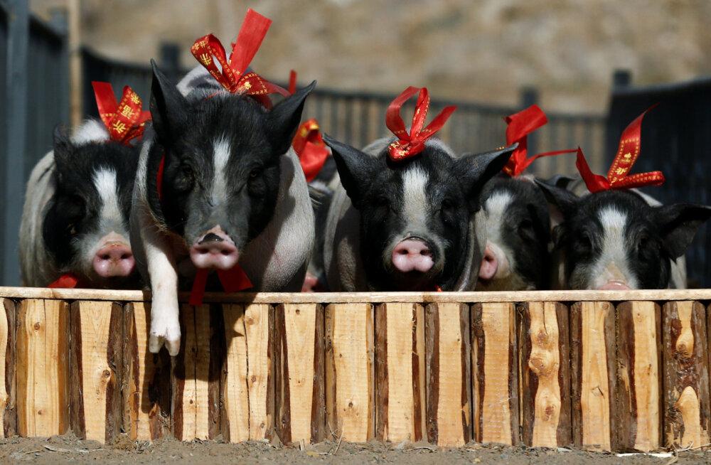 ВИДЕО. Поросячьи бега в Китае: скаковые поросята готовы к забегу в честь года свиньи