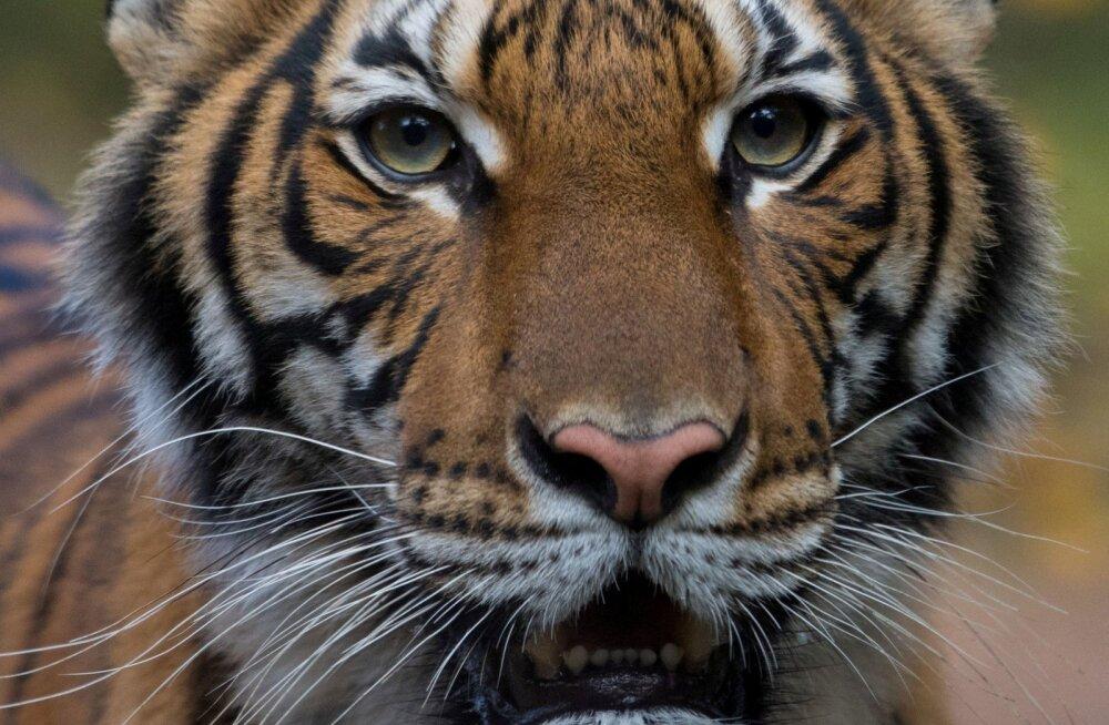 Тигр в зоопарке Нью-Йорка заразился коронавирусом от человека