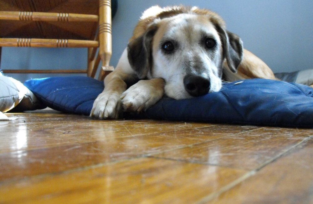 Südantliigutav truudus! Kodutu koer kõndis 300 kilomeetrit, et leida üles naine, kes ta elu päästis