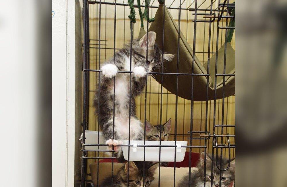 FOTOD | Üks nunnum kui teine: Valga varjupaik kubiseb armsatest kassipoegadest
