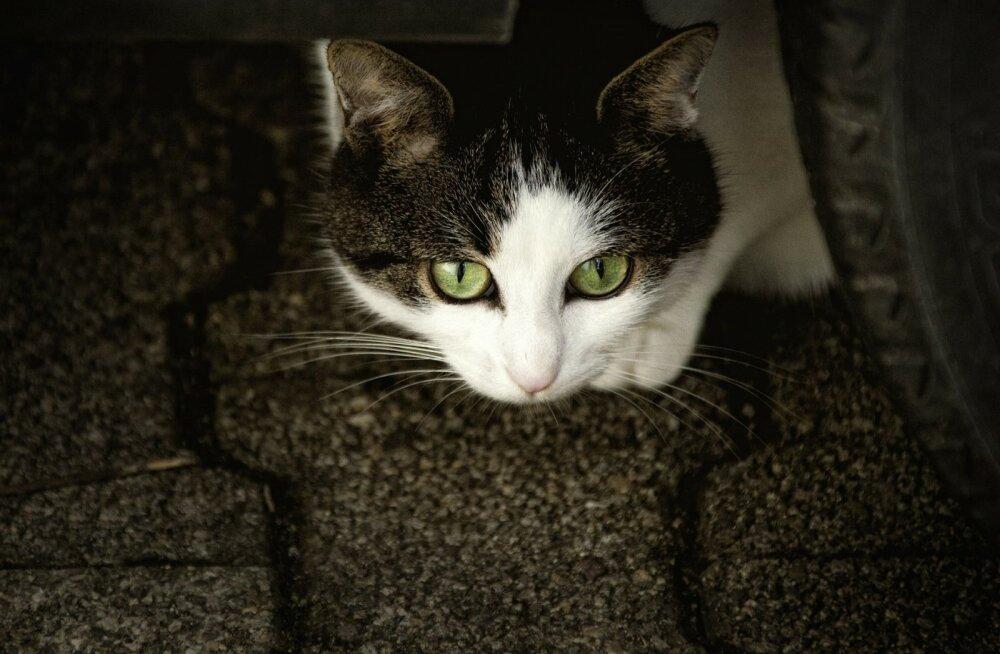 Müsteerium: Prantsusmaa külas on kuu aja jooksul mürgistusse surnud juba 200 kassi