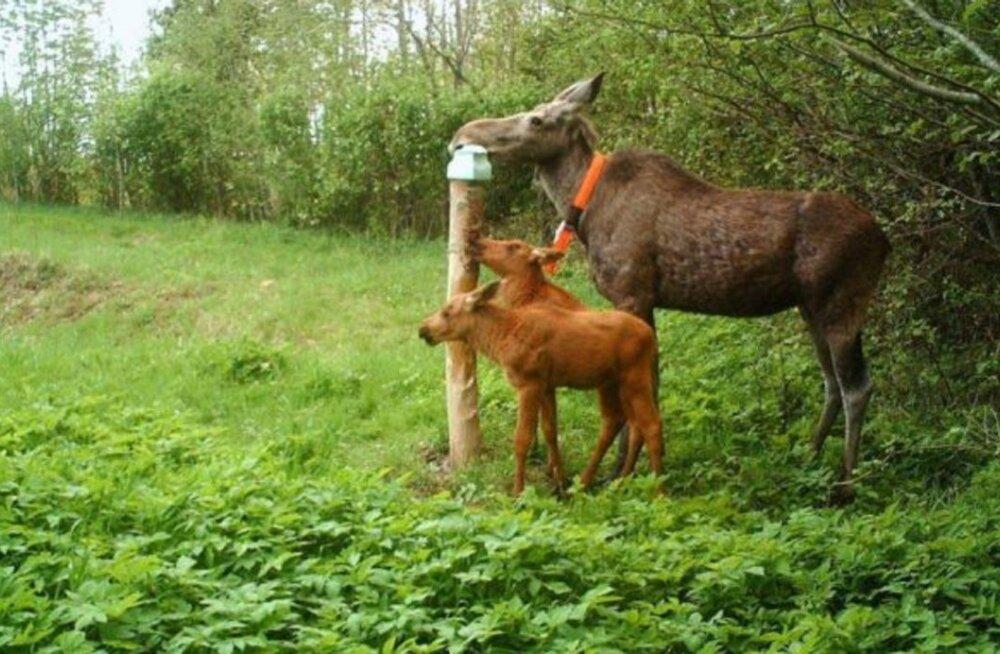 ÄRA KÜTI! | Kaelustega põdrad aitavad teadust teha