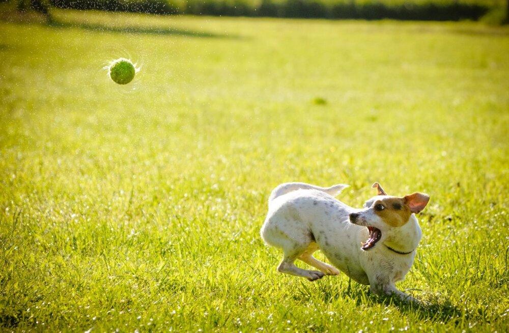 Tingimusteta armastus: miks koerad tennisepallidest alati meeletusse vaimustusse satuvad?