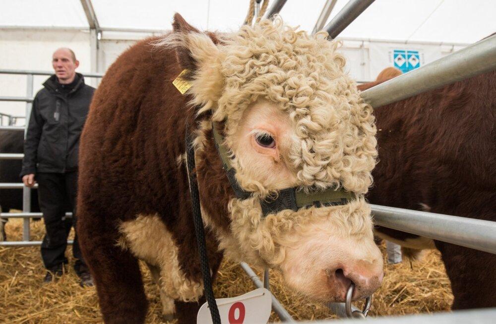 Uus tava sündinud: Eestis valitakse nüüd ka kauneim lihapull, siiani hinnati ainult lehmi.