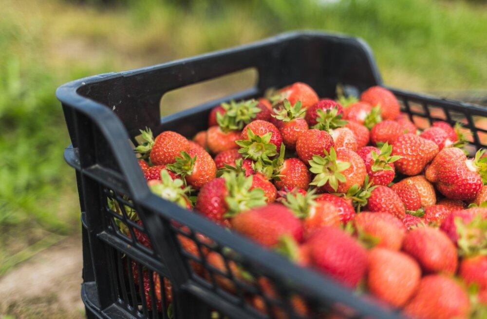 Maasikate korjamine