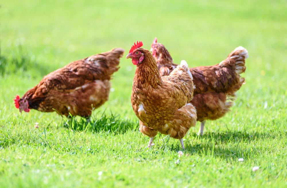 5 põhjust, miks jätta puurikanade munad ostmata