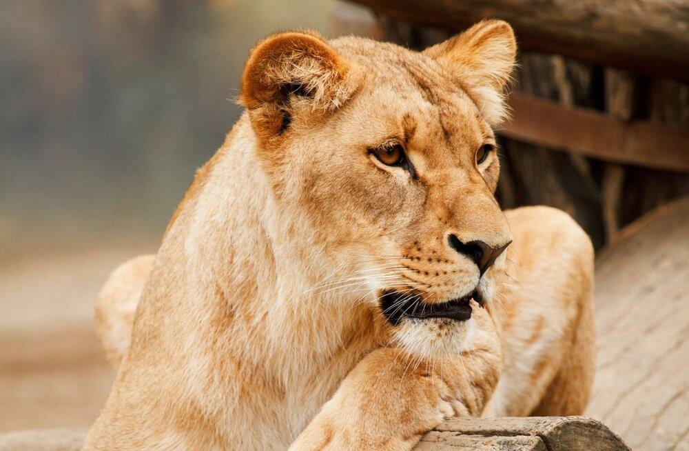 Õiglus on jalule seatud: Lõuna-Aafrikas tapsid lõvid väidetavad salakütid