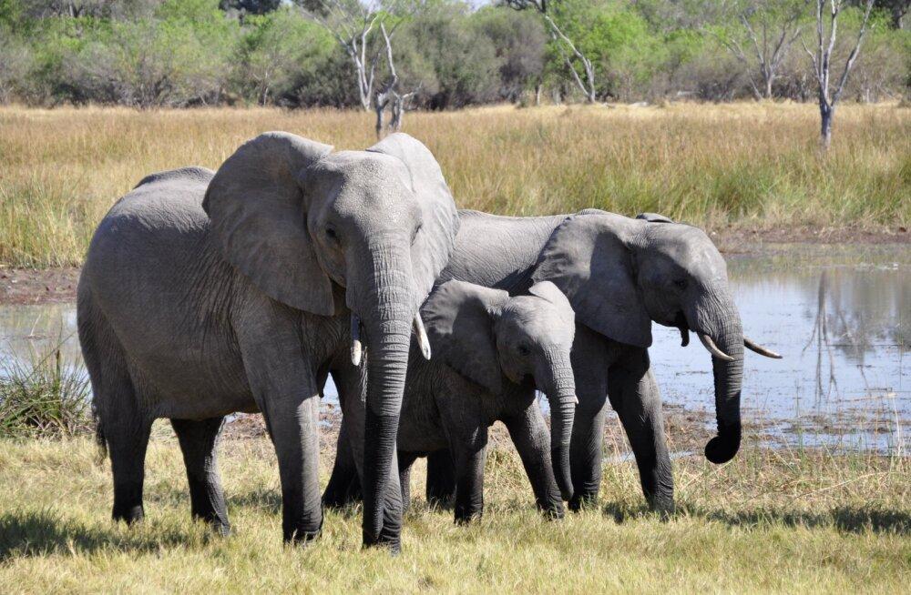 Positiivseid uudiseid Keeniast: elevantidel on beebibuum!
