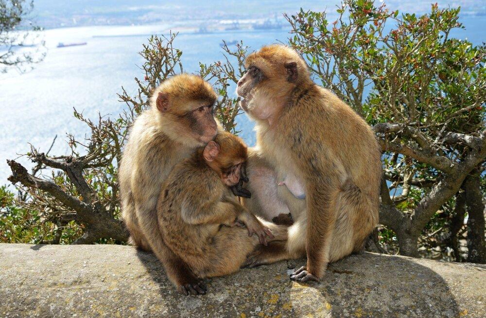 GIBRALTAR | Tükike Suurbritanniat Hispaania külje all — Euroopa ainsate vabas looduses elavate ahvide kodu