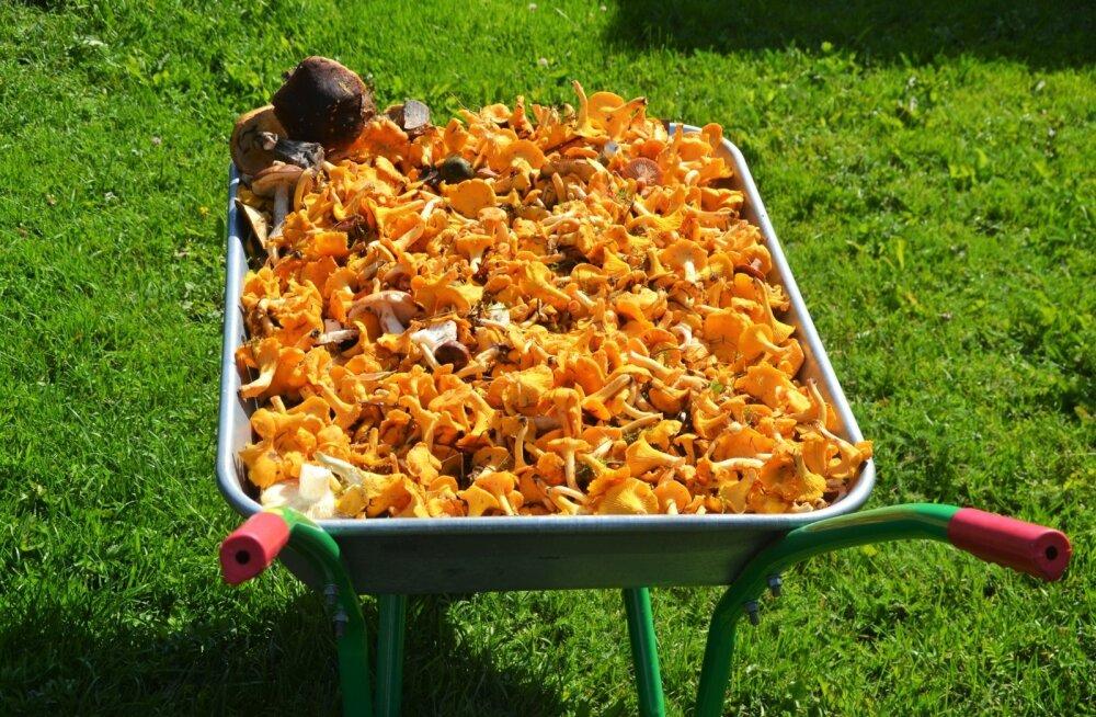 Mulgimaal andis üks eriti edukas seenelkäik kärutäie seeni. Jagus endale ja ka sõpradele