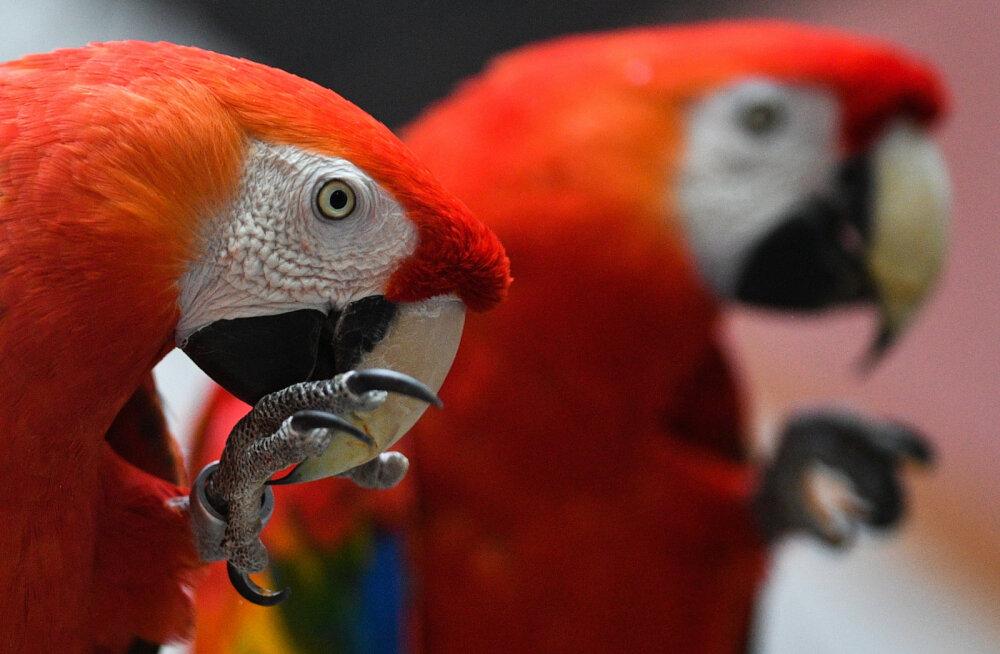 Попугаи-наркоманы терроризируют индийских фермеров