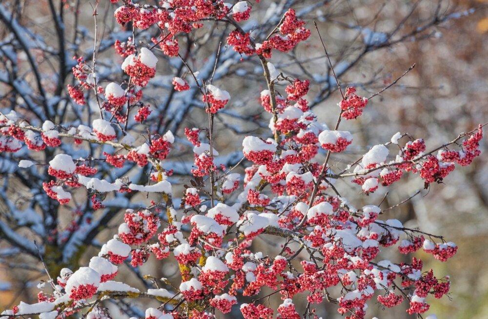 Sünoptik homse esimese lume kuuldustest: see on ikka väga suur liialdus, ehk Haanjal näeb üht lumehelbekest
