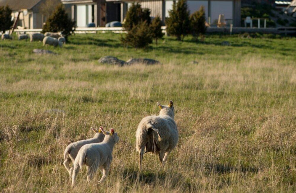 Üks laid, üks majakas, üks majapidamine ja 500 lammast