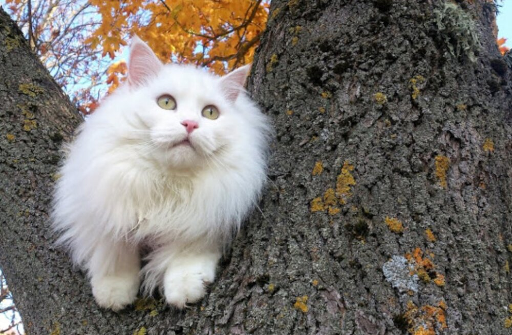 Värvikas KIISUBLOGI | Diivanilugu pani kass Ada hingepõhjani omaniku peale solvuma