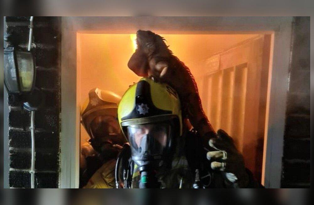 Kurioosum: iguaan päästis oma elu tuletõrjujale pähe hüpates